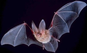 Townsend's Big-Eared Bat. This thing is absolutely terrifying.