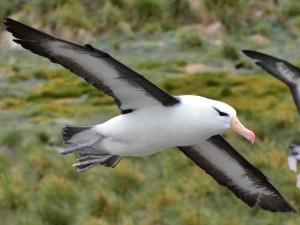 The Albatross has a bad reputation (credit: Peiying Mo)